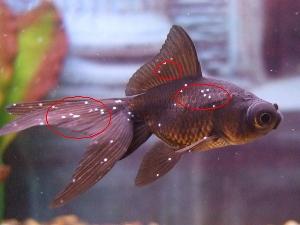 נקודות לבנות על הדג