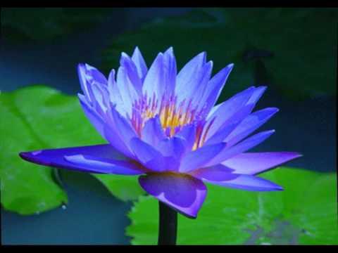 שושנות מים לבריכות נוי - נימפאה כחולה
