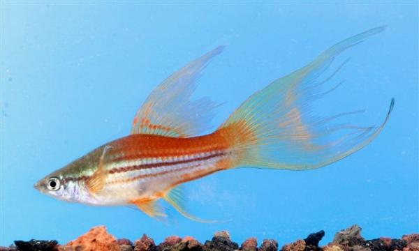 סייפן   Hi Fin Swordtail