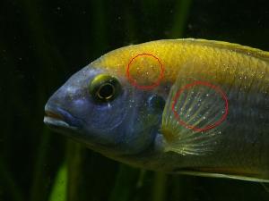 נקודות לבנות בדגים