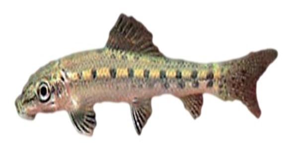 דג מנקה לבריכת נוי - שמרל'ה