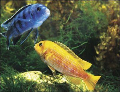 דגים מסוג ציקלידים