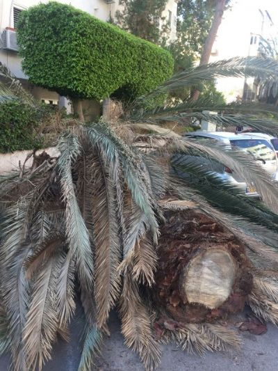 גיזום וכריתת עצי דקל
