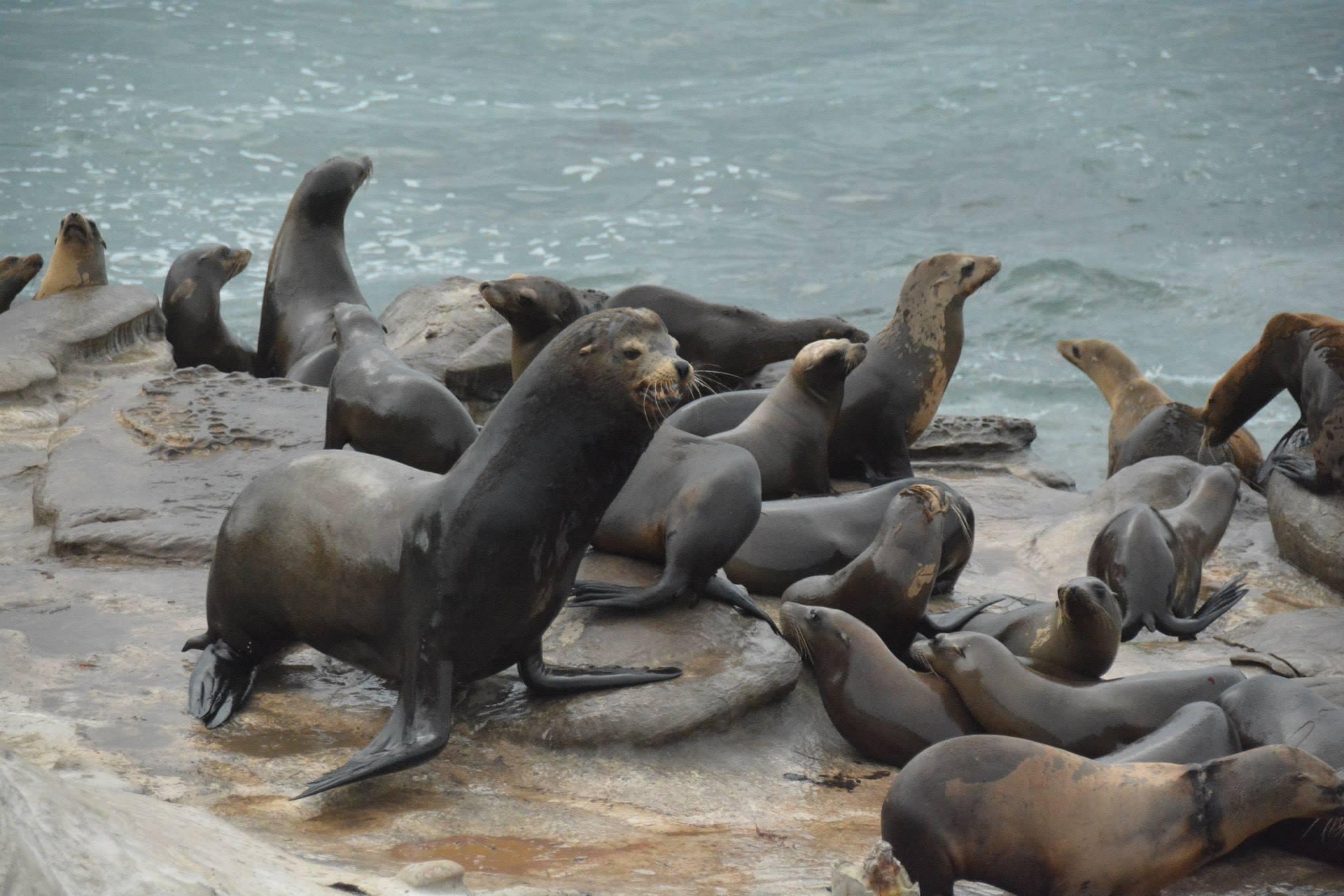 אריות ים על המצוקים