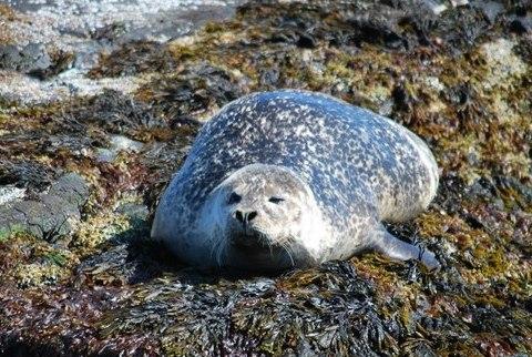 כלב ים על סלעים