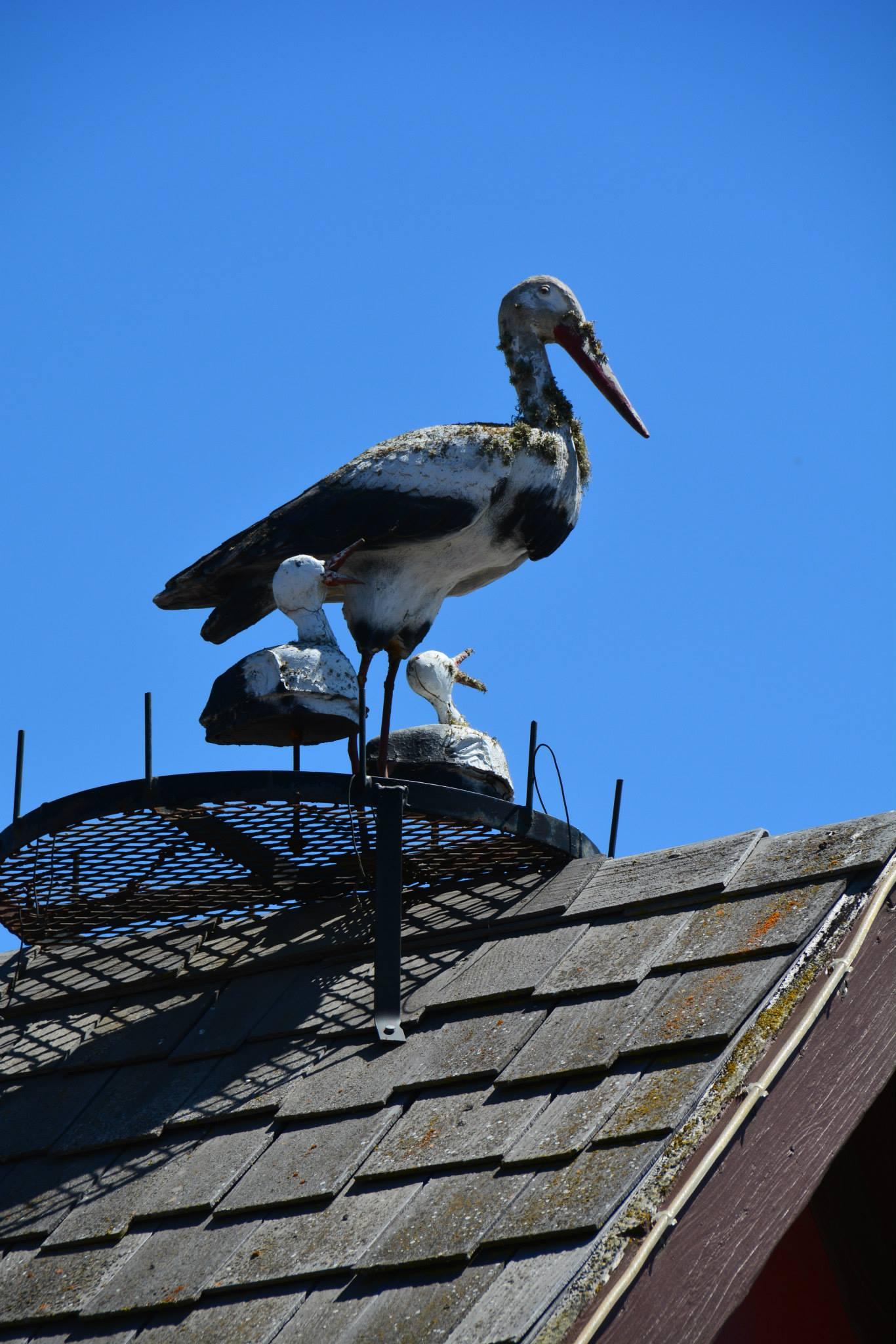 חסידות עץ על גגות הבתים