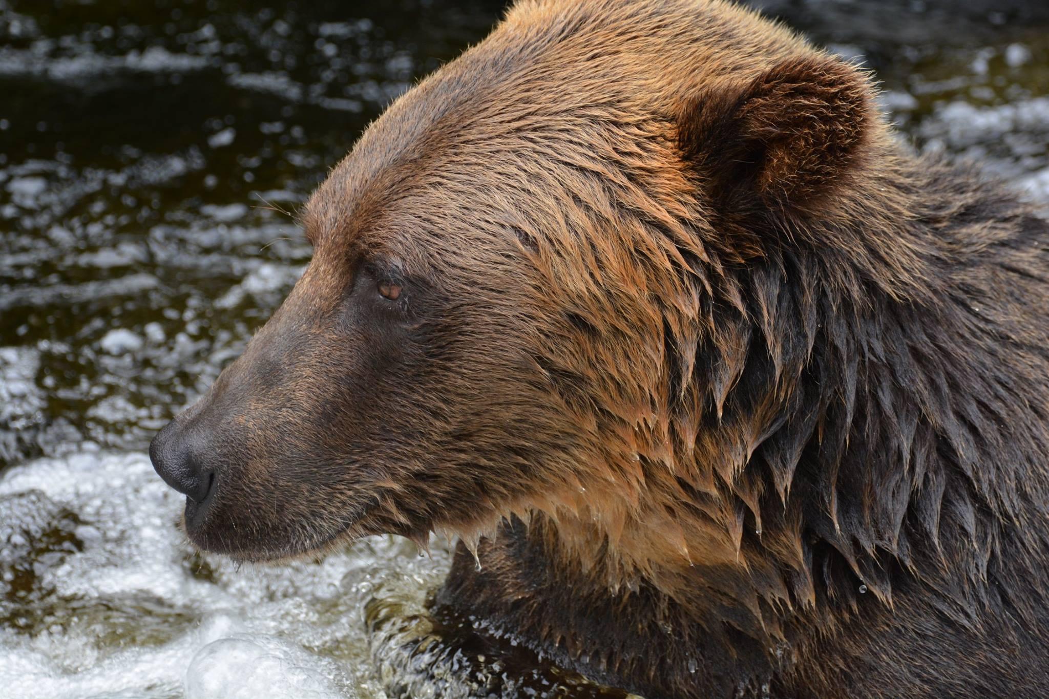 הדובים של Anan Wildlife Observatory Site