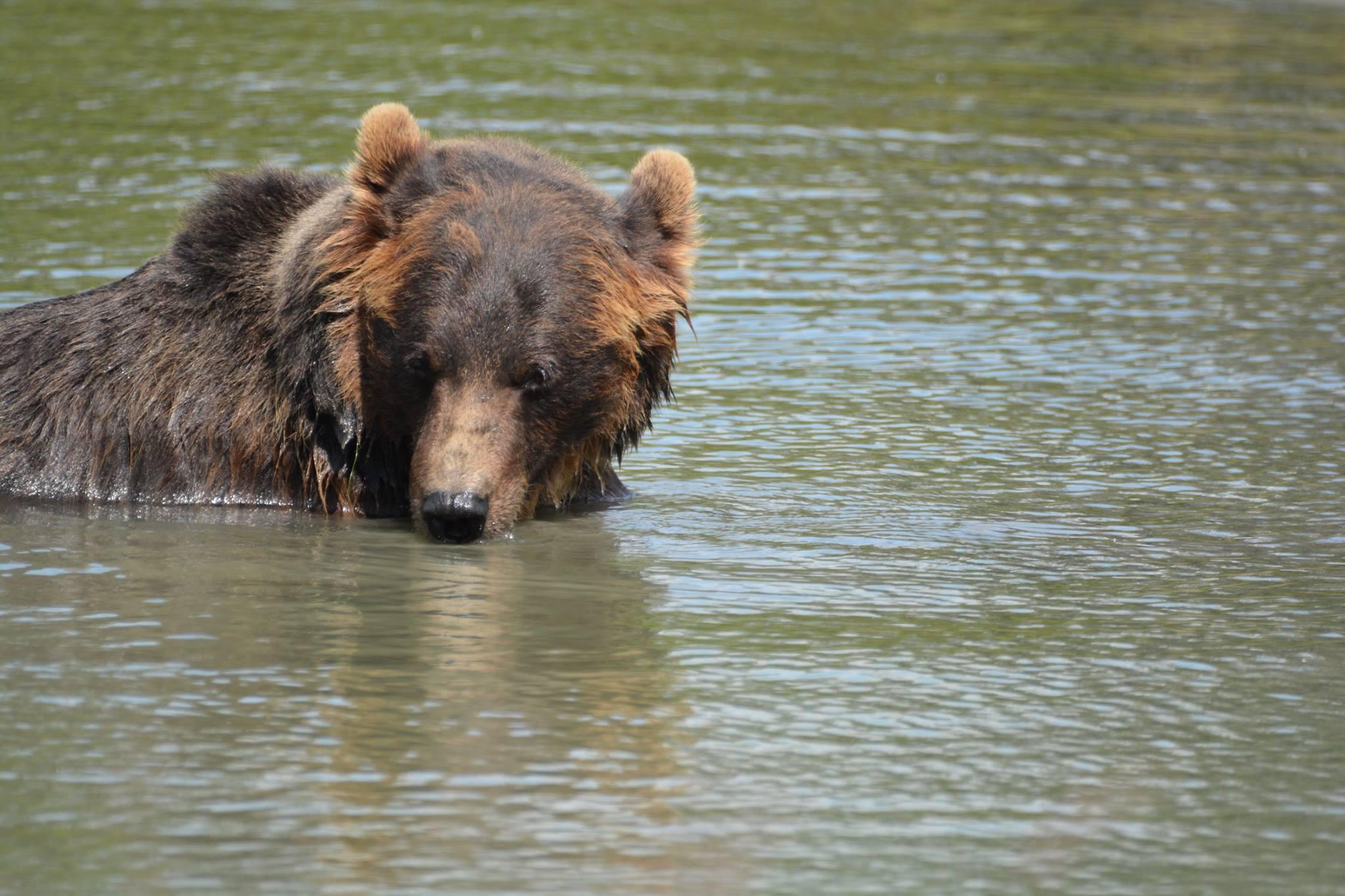 דוב ב- Russian River