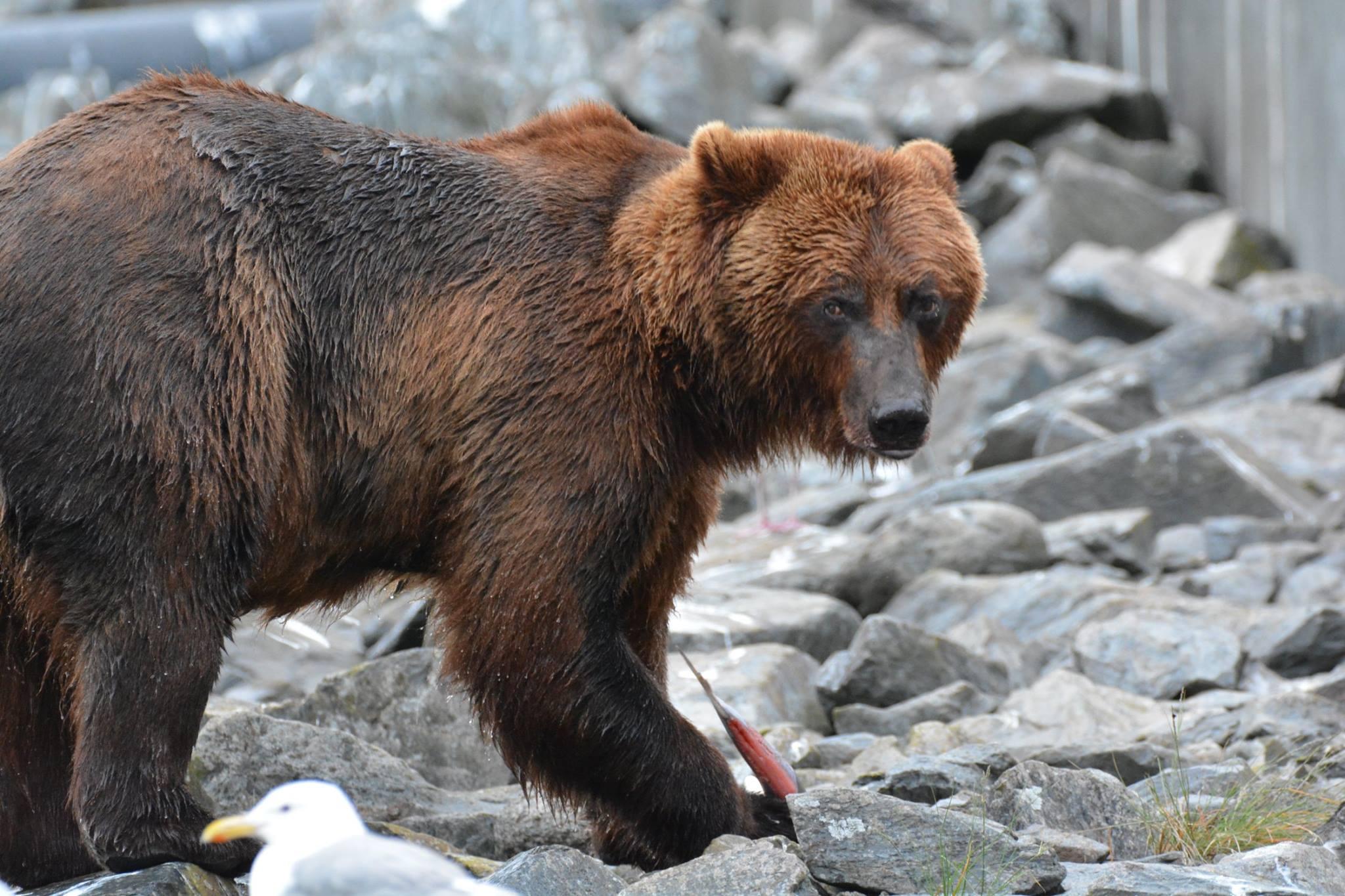 דוב ב-  Solomon Gulch Hatchery