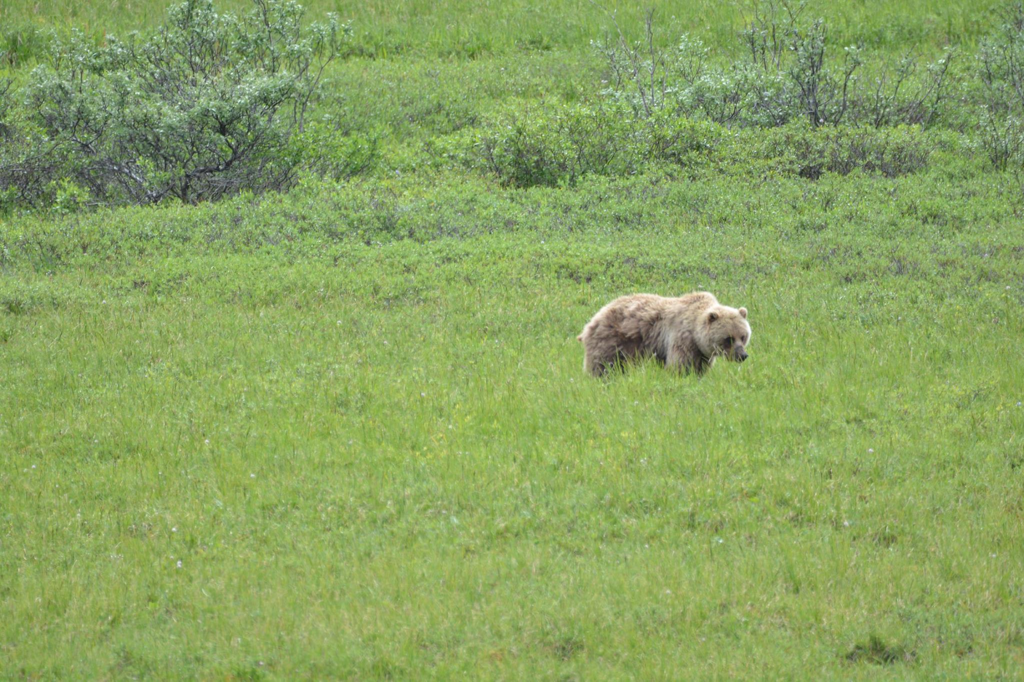 דוב גריזלי-פארק דנאלי