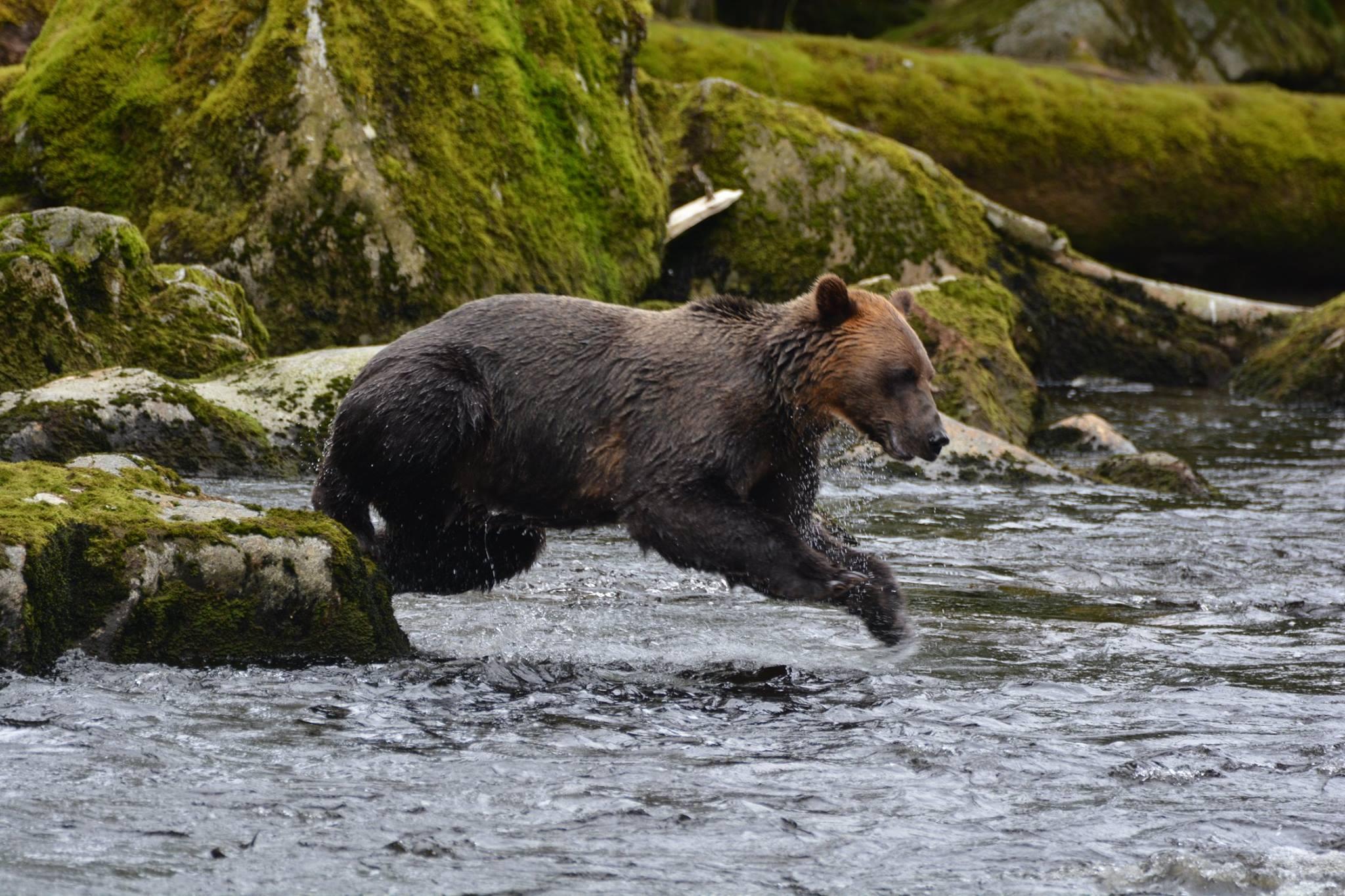הדוב שעובד קשה של Anan Wildlife Observatory Site