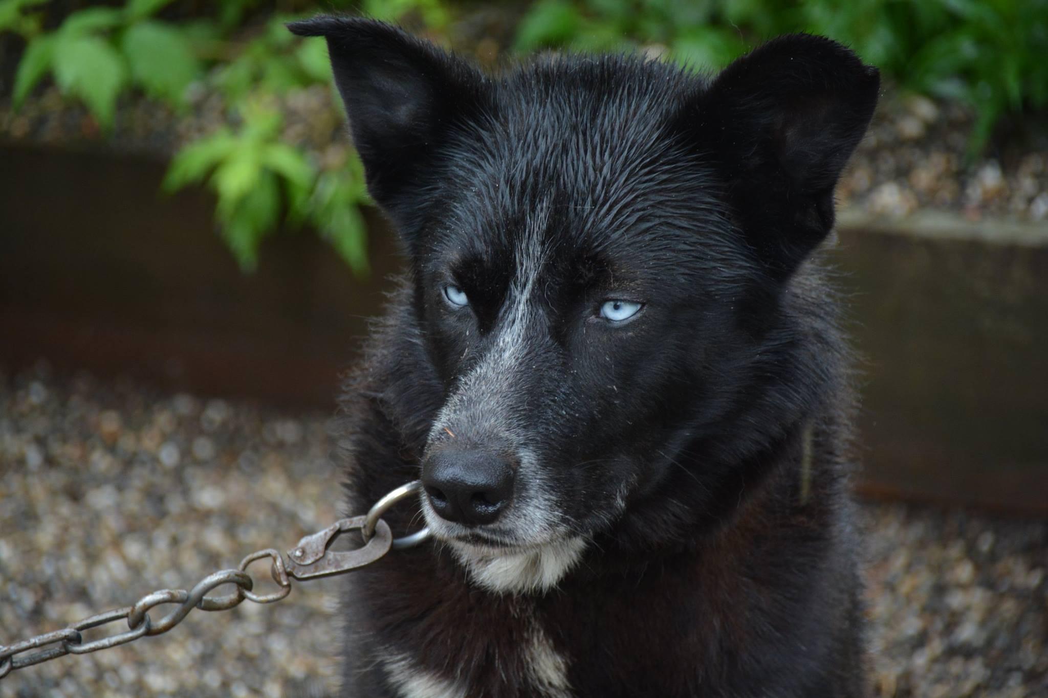 כלב מזחלות-פארק דנאלי