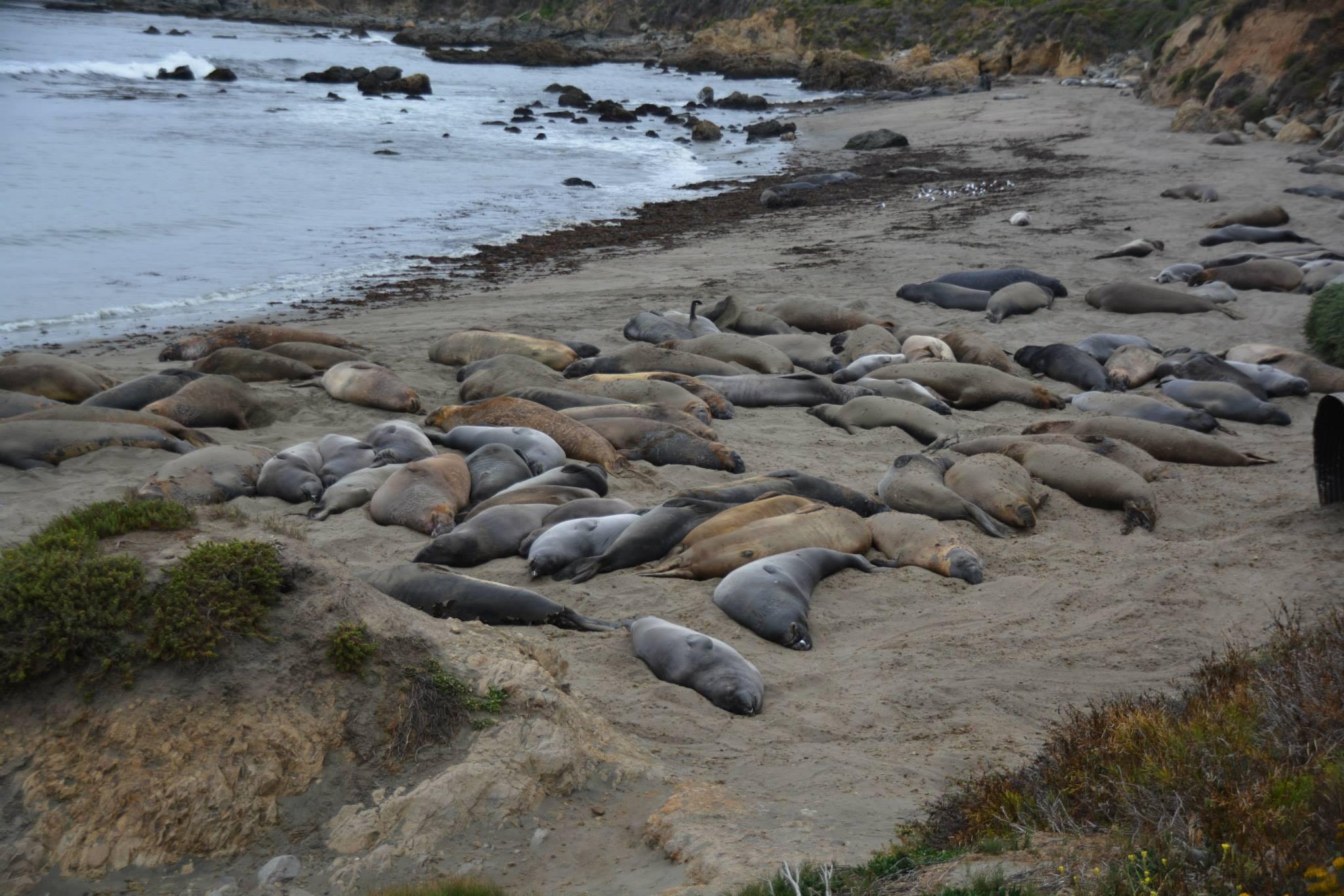 פילי ים בהמוניהם על החוף