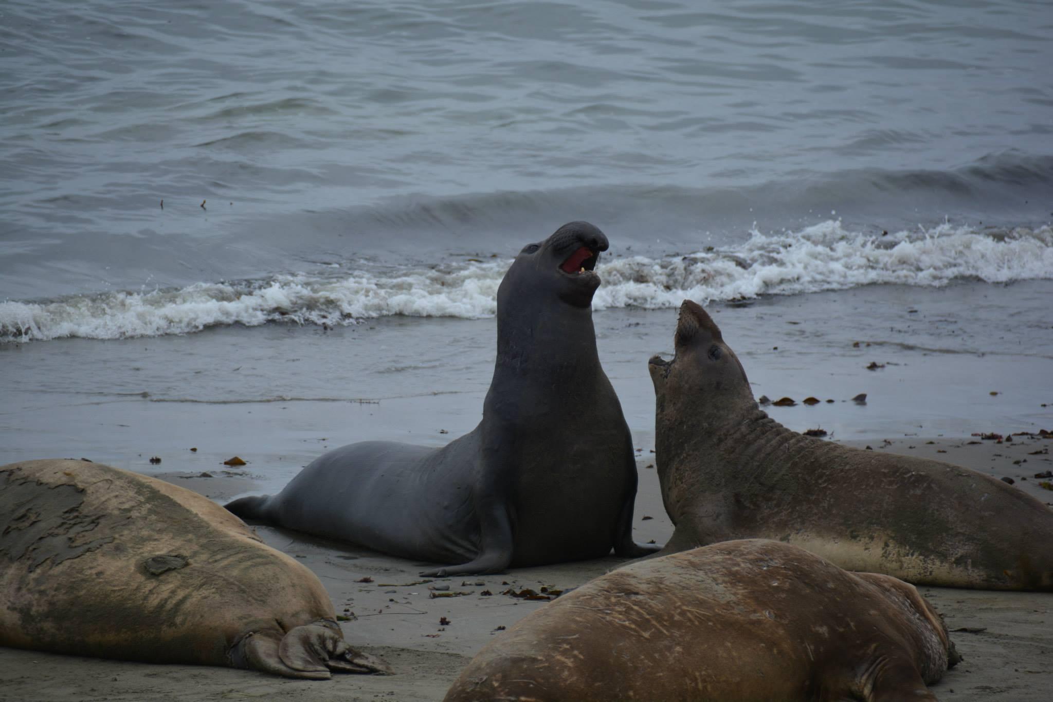 2 פילי ים זכרים בהתנצחות