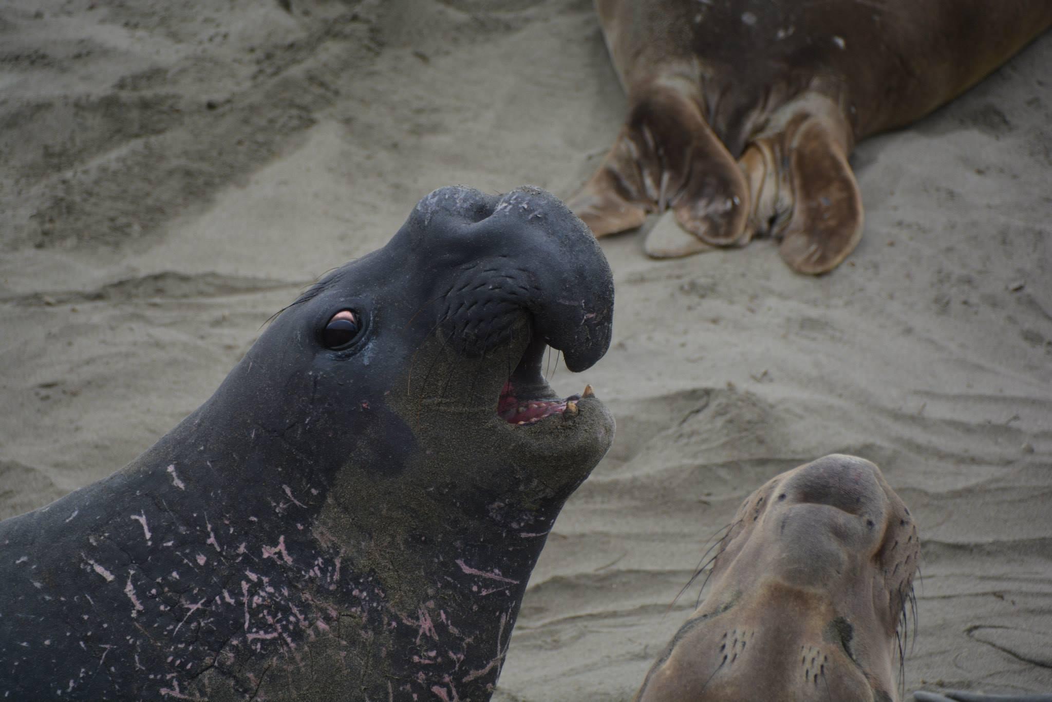 פיל ים בפרופיל