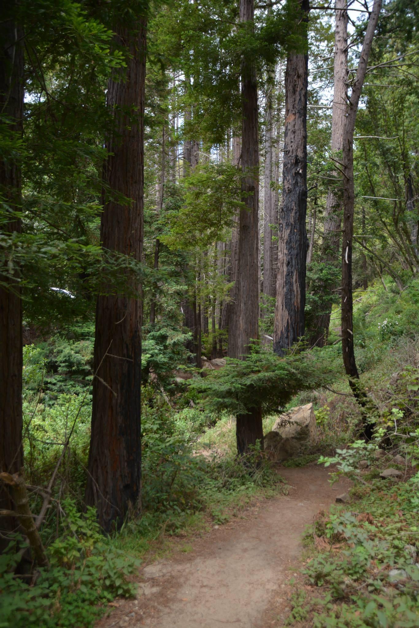עצי רדווד-העצים הגבוהים בעולם