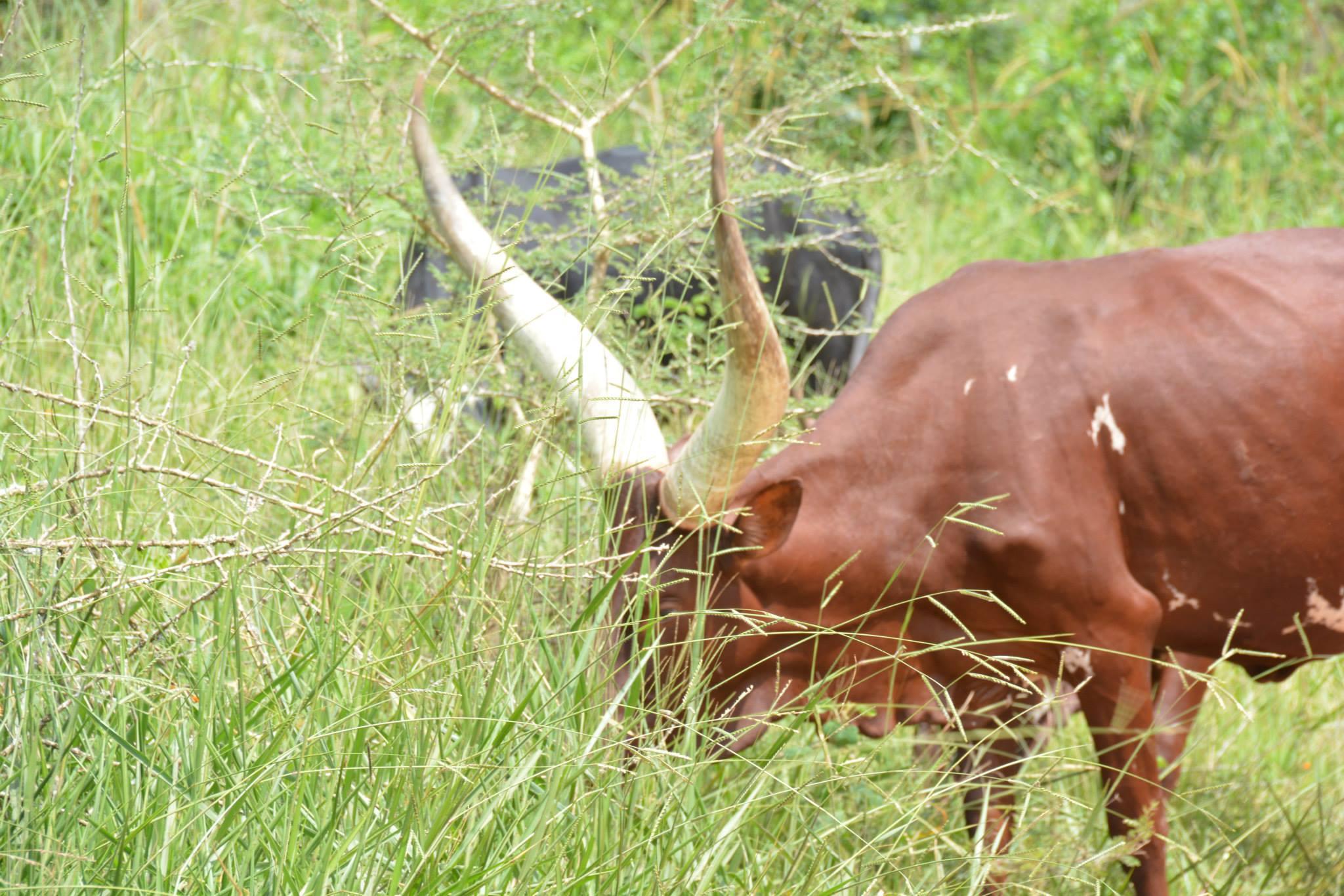 עדר פרות אפריקאיות
