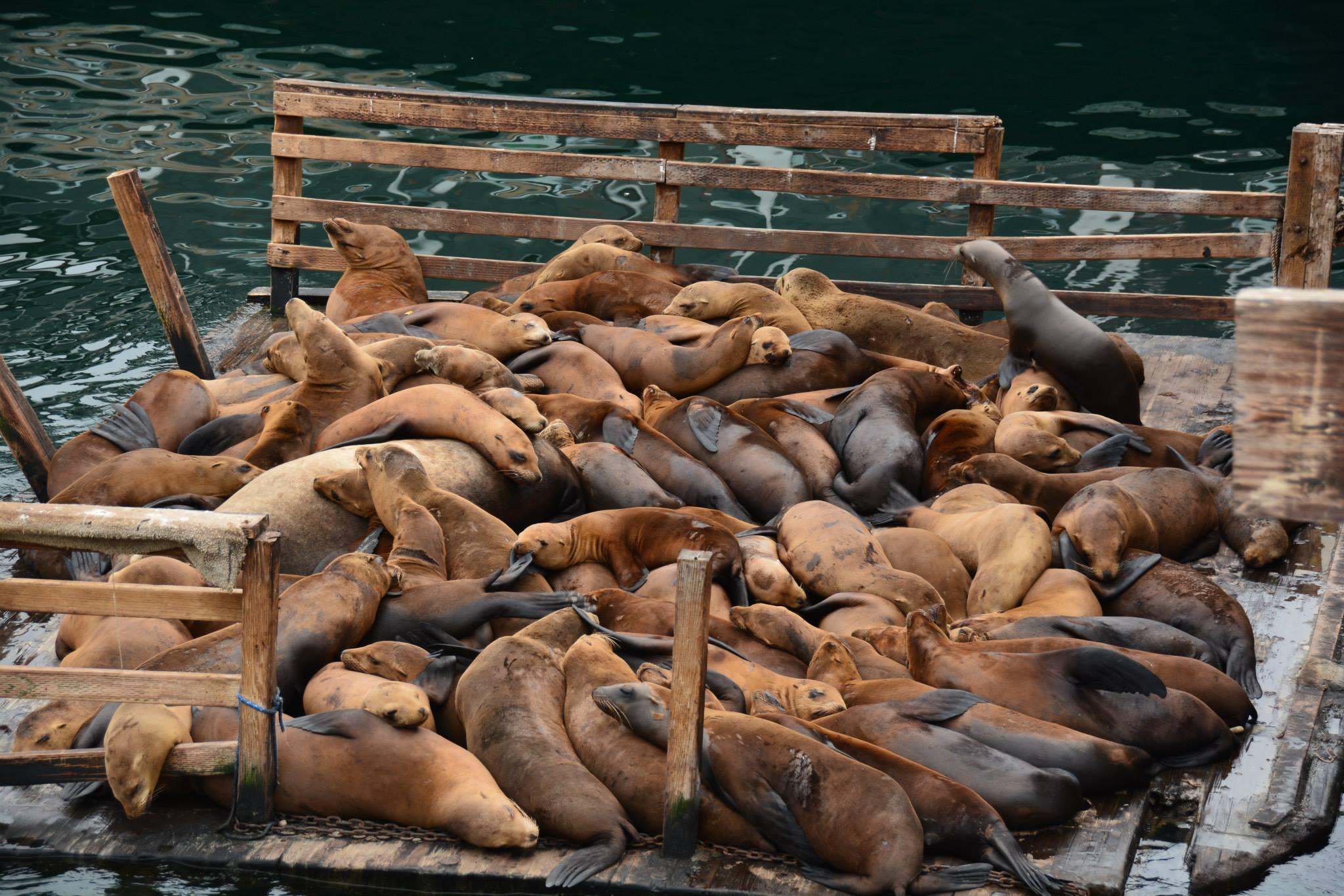 כלבי הים במזח הדייגים הישן