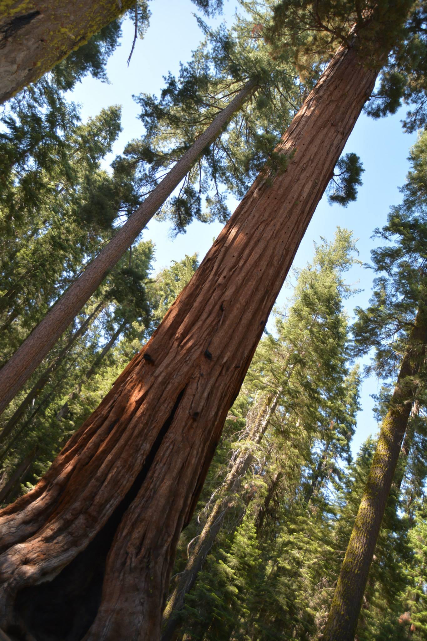 עץ הסקויה-יוסימיטי