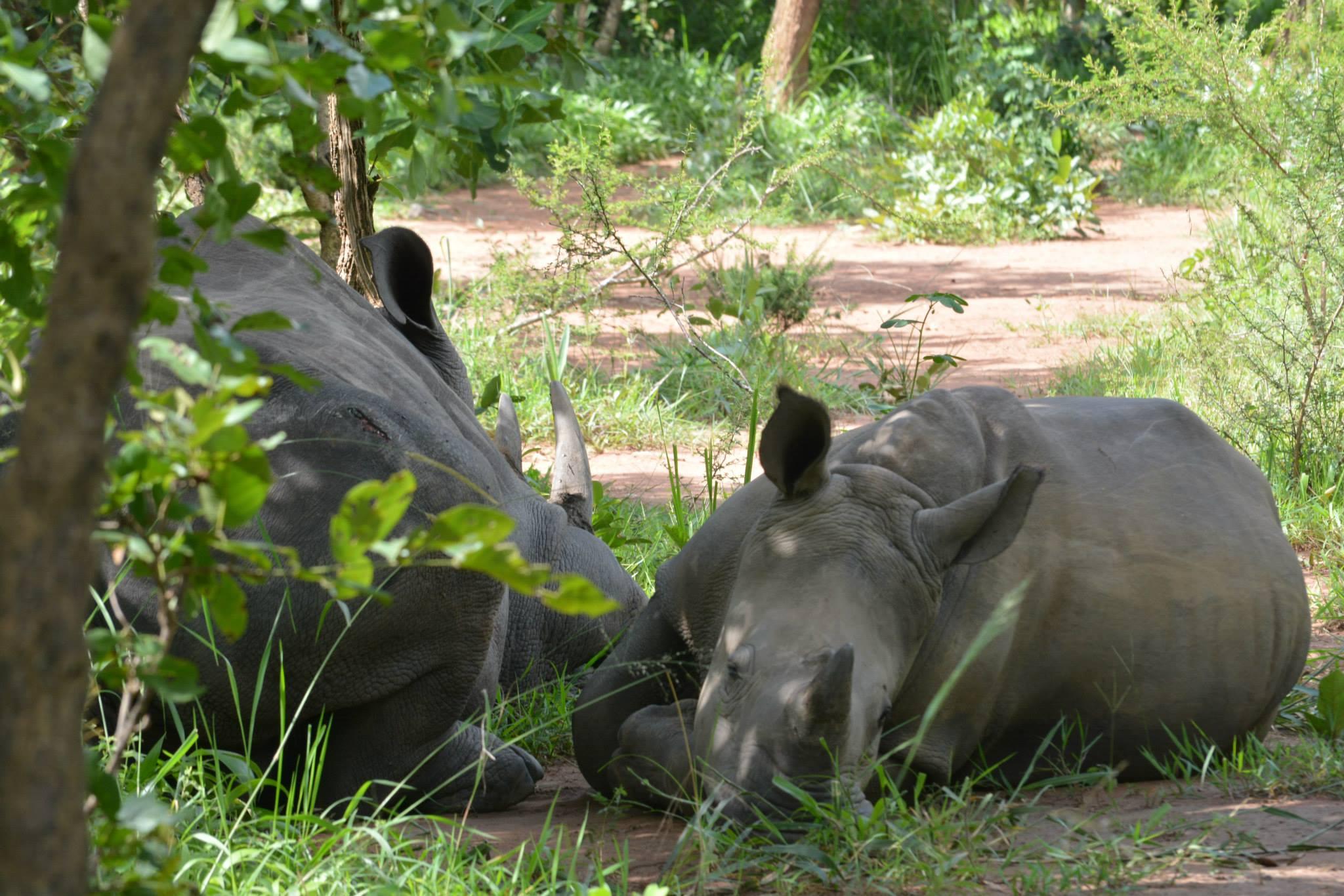 הקרנפים בשמורת הקרנפים-אימא והצאצא שלה