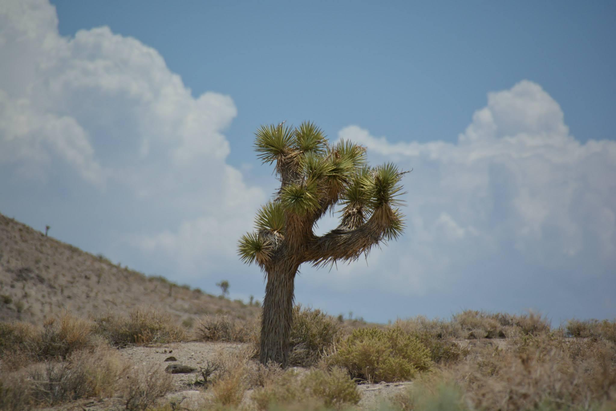 עץ יהושוע