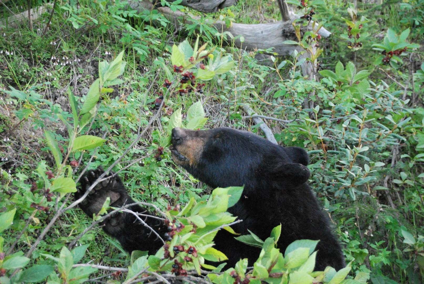 דוב שחור אוכל פרות יער
