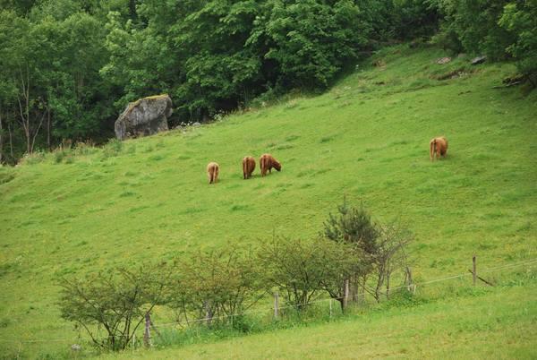 פרות רועות באחו הירוק