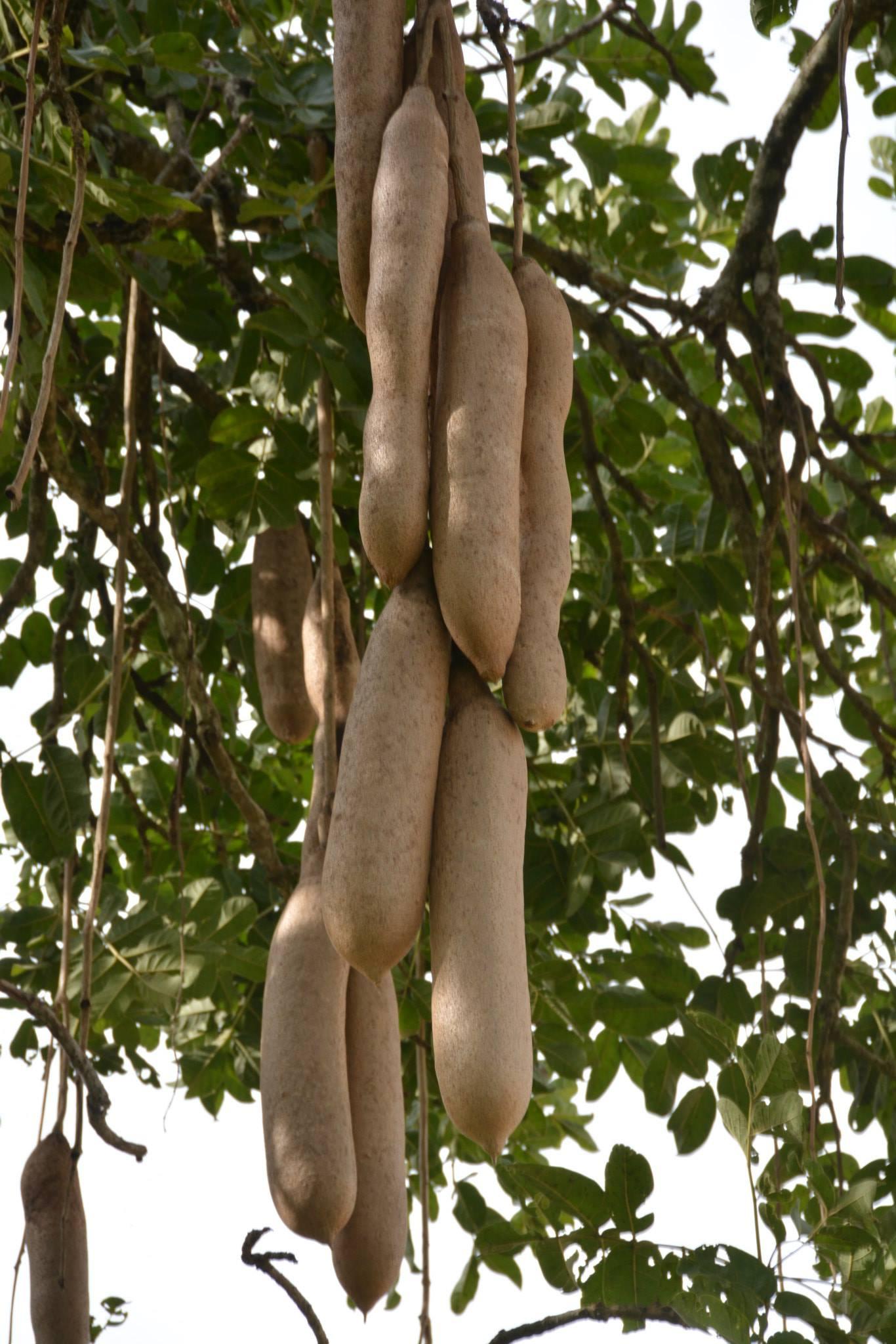 פרות עץ הנקניק