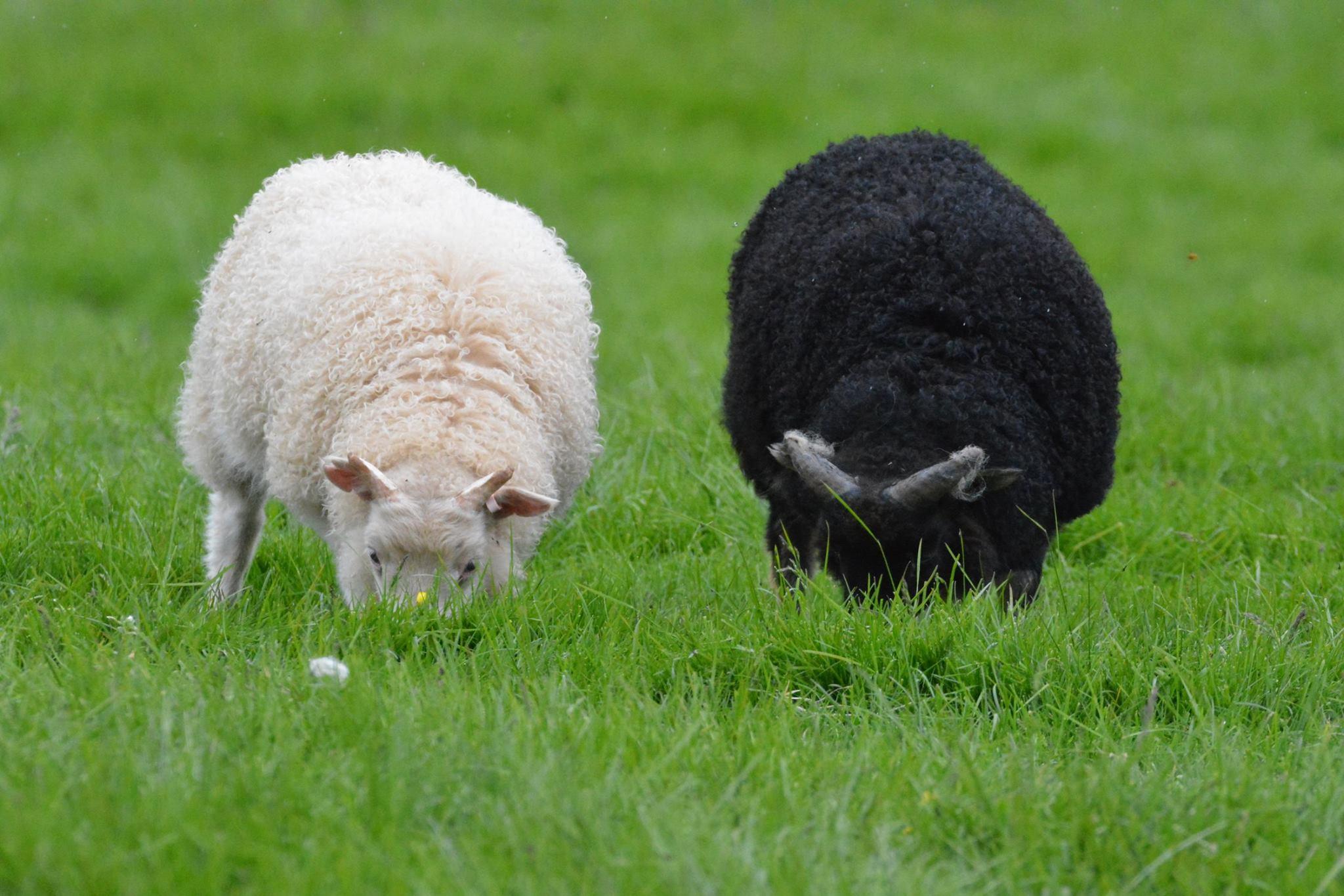 הכבשים של איסלנד