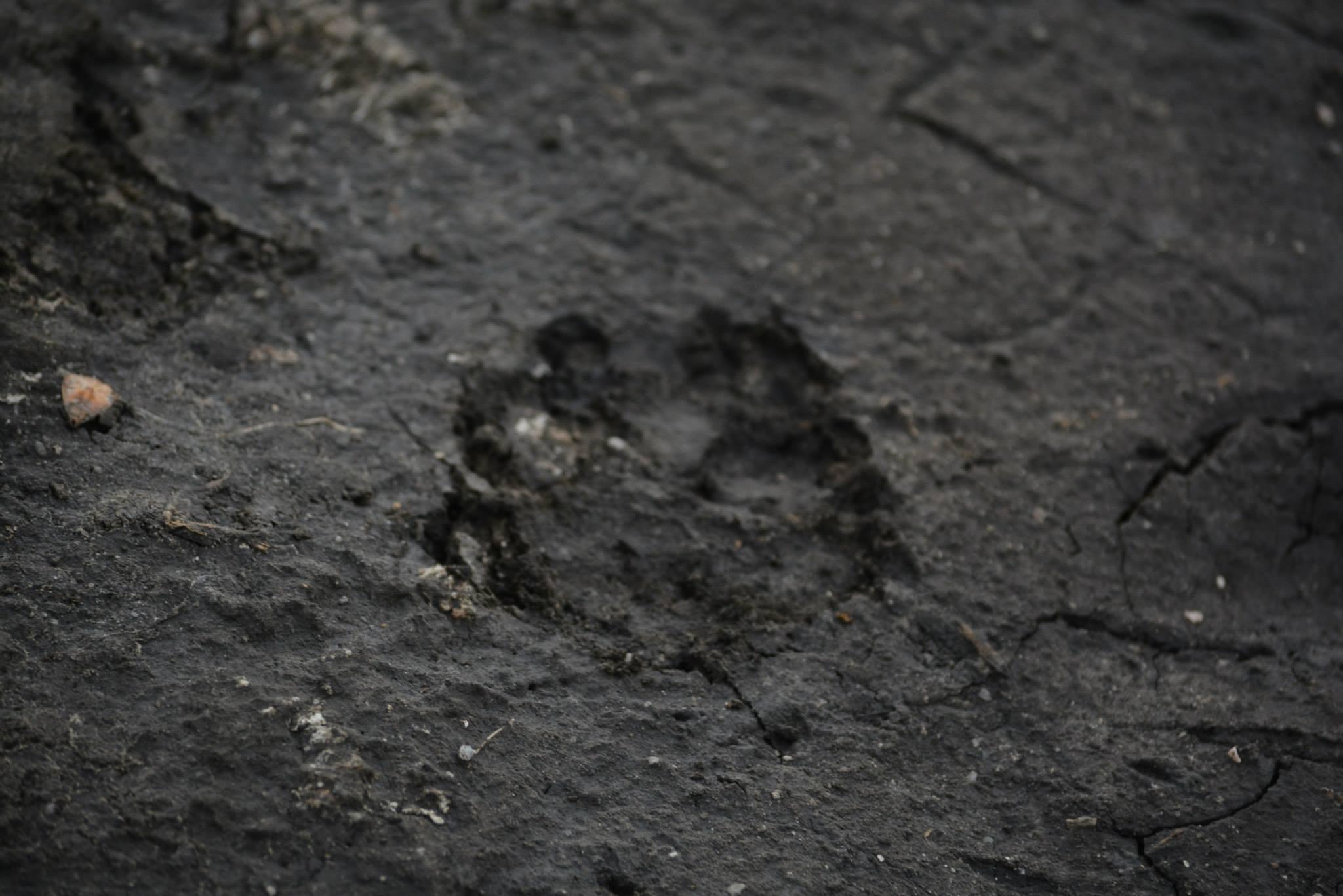 עקבה של אריה בבוץ