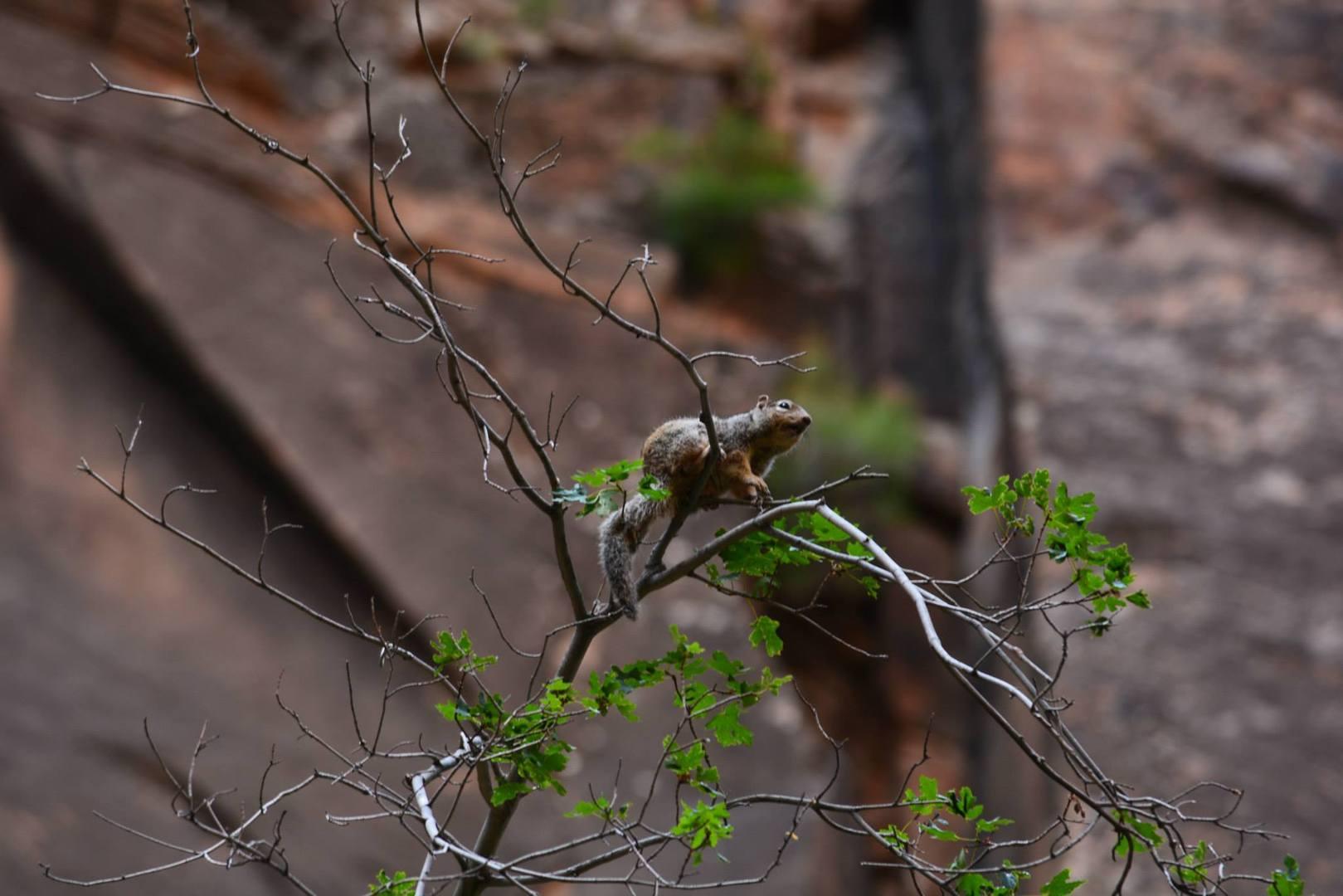 סנאי על ענף