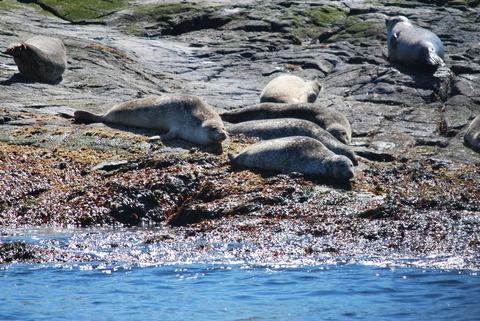 כלבי הים על הסלעים