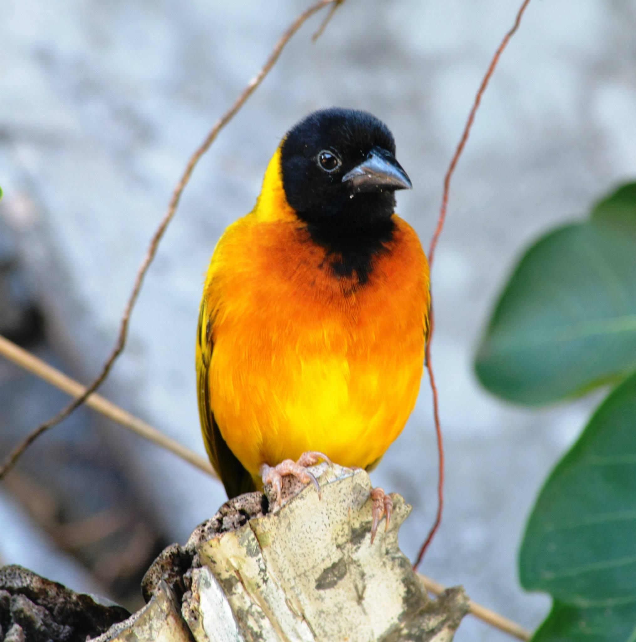 Strange weaver- את הציפור הזאת אתם תראו בהרבה מאוד