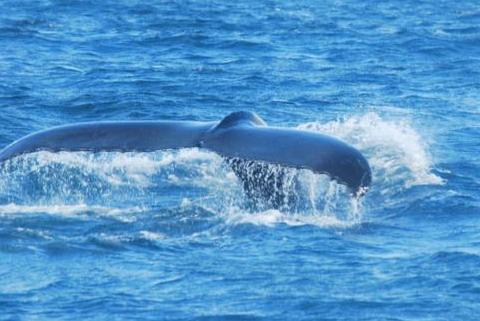 לכל לוויתן יש את הזנב שלו-כמו טביעת אצבע