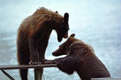 הדובים של היינס