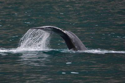 הלוויתנים של קינאי פיורדס
