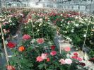 זני של ורדים