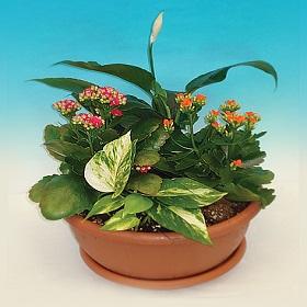 קוקטייל צמחים