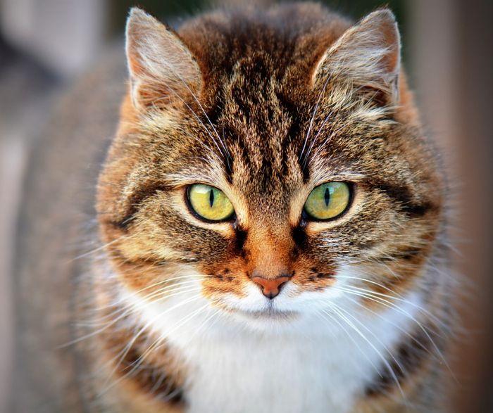 חתול/ה לא מעוקר/ת
