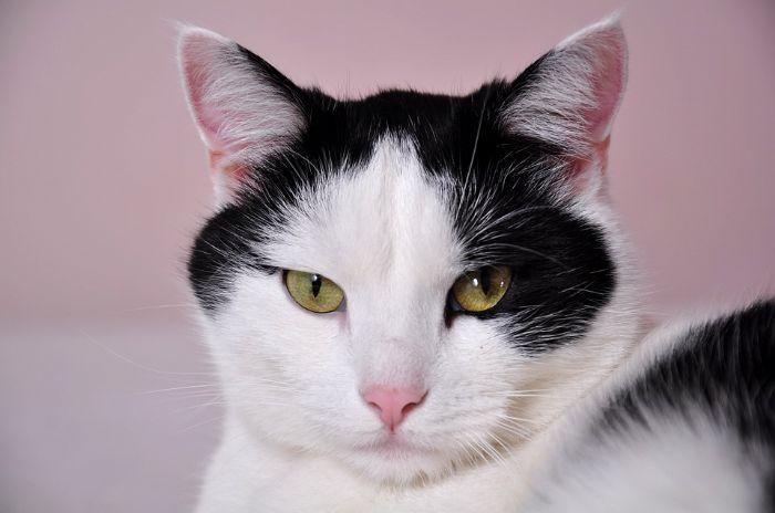 חתול/ה מעוקר/ת