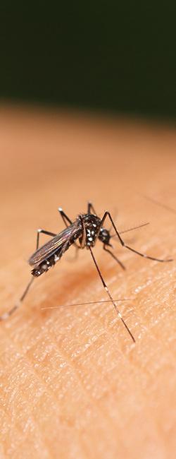 הדברת יתוש הטיגריס האסייתי