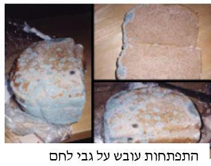 התפתחות עובש על גבי לחם