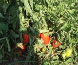 שיח עגבניות