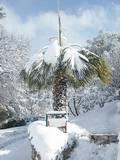 הדקל מתקופף בגלל השלג 2010