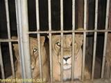 מה עושים האריות בלילות?