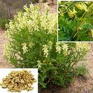 אסטרגלוס/קדד סיני/קרומי # Milk vetch # Astragalus membranaceus # שורש #