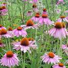 קיפודנית ארגמנית # Purple coneflower / Purple echinecea # Echinacea purpurea #  # פרח+עלה גרוס