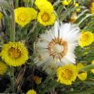 חסר במלאי - טוסילגו פרפרה | פרחים | 100 גרם | Tussilago farfara | Coltsfoot