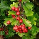 עוזרר | פירות שלם | 100 גרם | Crataegus Oxyacant. | Hawthorn