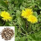שינן רפואי/שן ארי | שורש | 100 גרם | Taraxacum officinalis Radix | Dandelion root